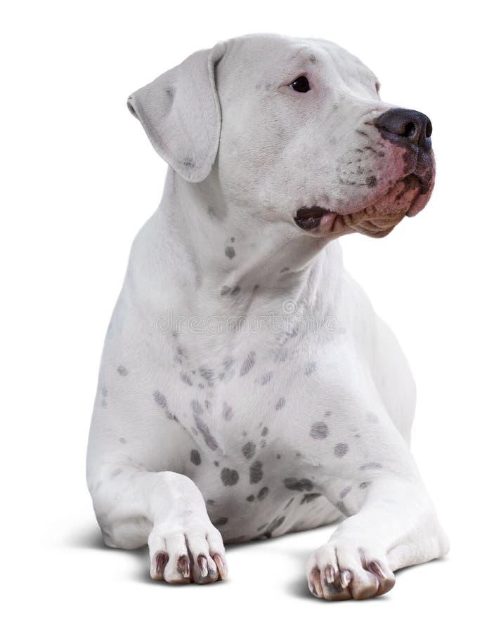 Dogo Argentino Über Weiß stockfotografie