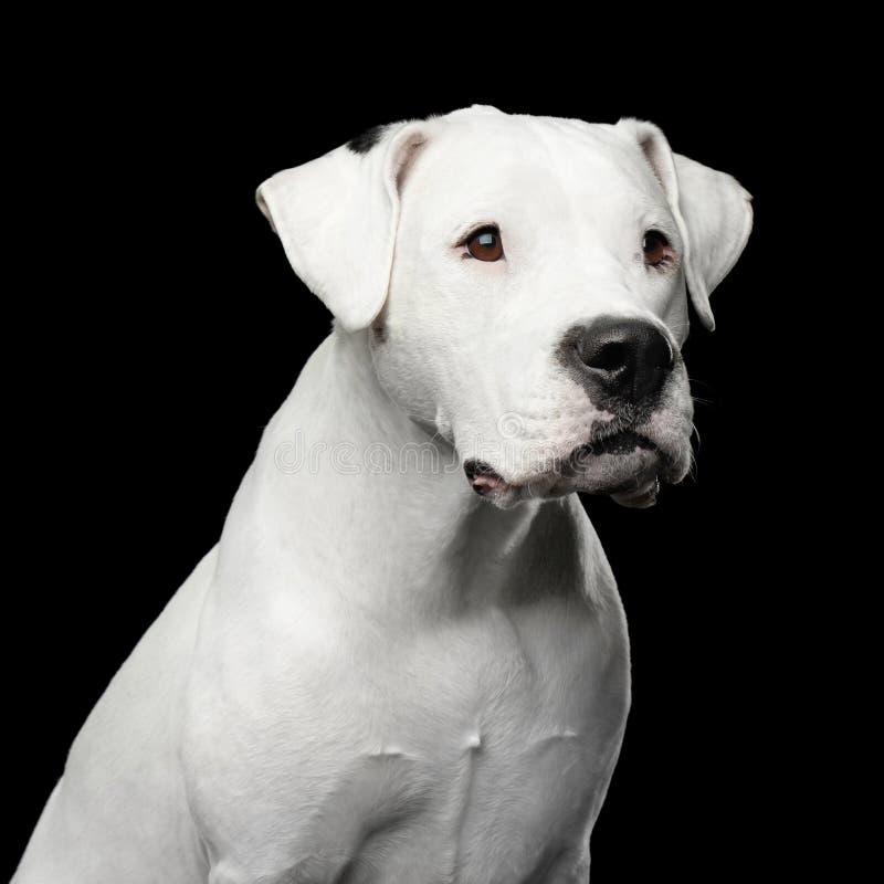 Dogo Argentino fotografia stock