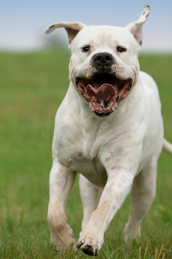 Download Dogo argentino stock image. Image of male, look, close - 12848179