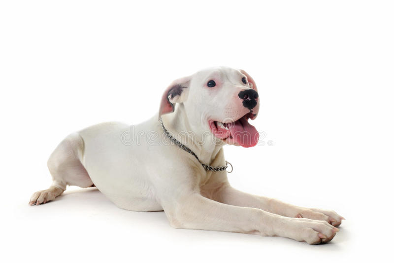 Download Dogo argentino stock photo. Image of down, purebred, pedigree - 19492116