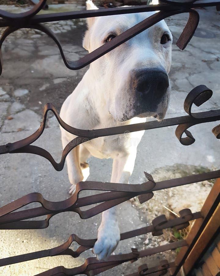 Dogo Argentino royalty-vrije stock afbeeldingen