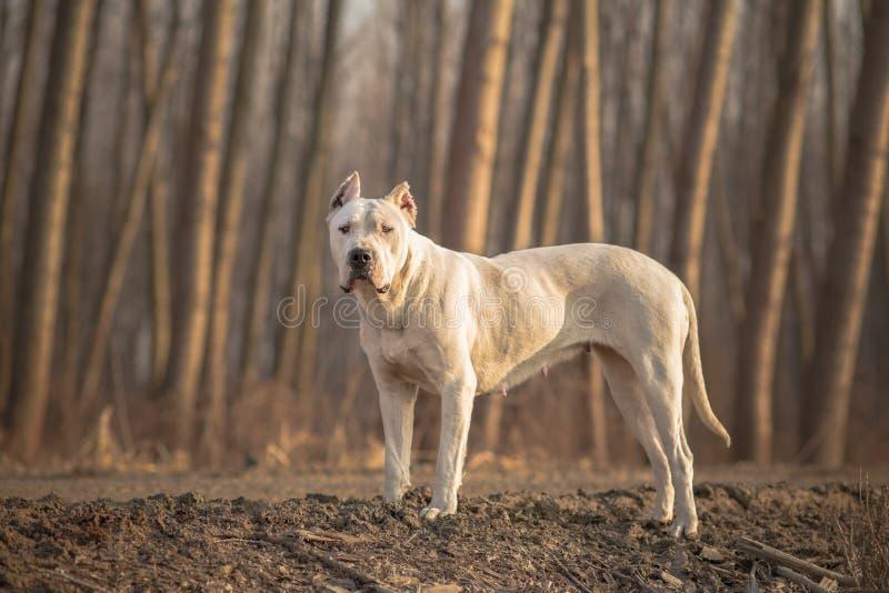 Dogo Argentino forest portrait stock image