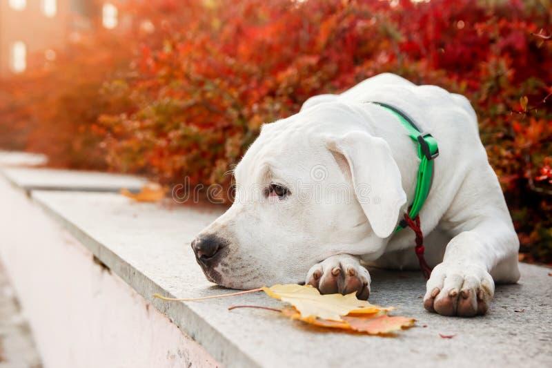 Dogo argentino giace sull'erba nel parco d'autunno vicino alle foglie rosse Sfondo canino immagine stock