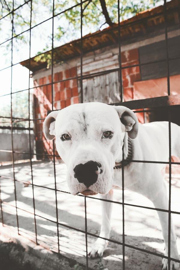 Dogo Argentino - Argentino Mastiff stockbilder