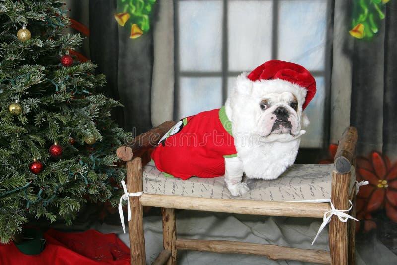 Dogo blanco con un sombrero y una barba de santa foto de archivo libre de regalías