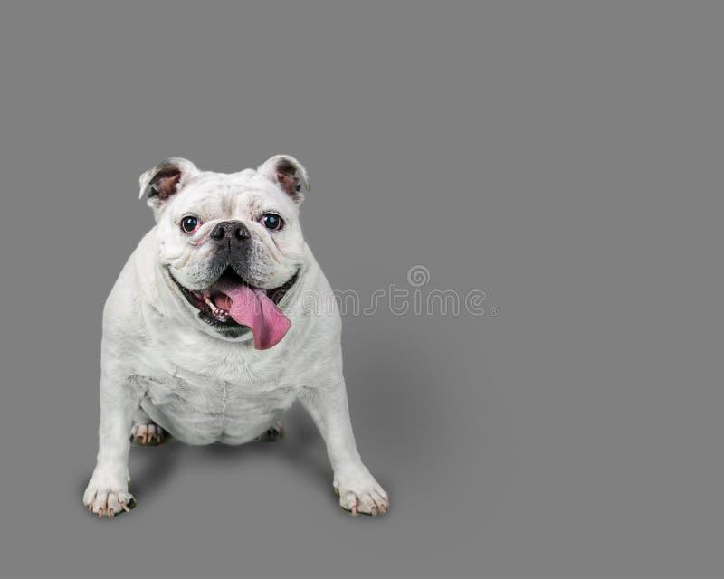 Dogo blanco feliz que se sienta con Gray Background foto de archivo