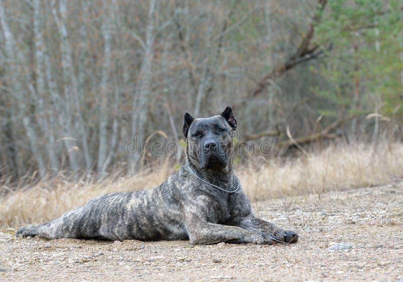 Dogo canario! royaltyfri bild