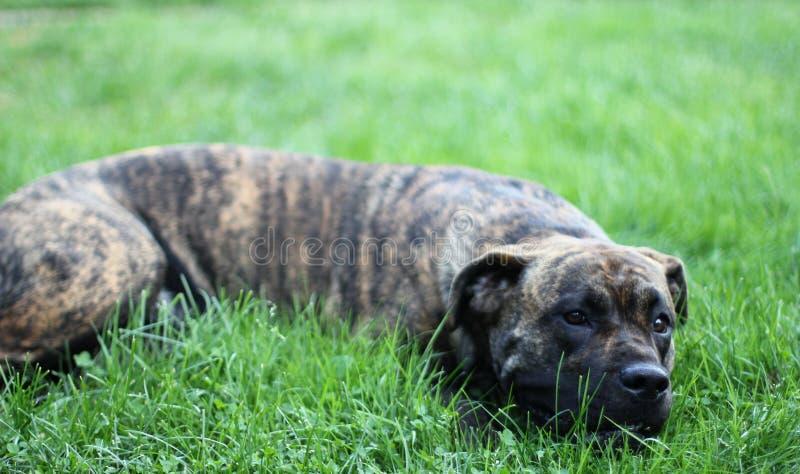 Dogo Canario royalty free stock image