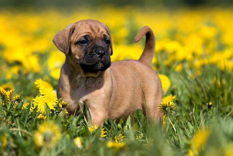 Dogo Canario Welpe lizenzfreie stockfotos