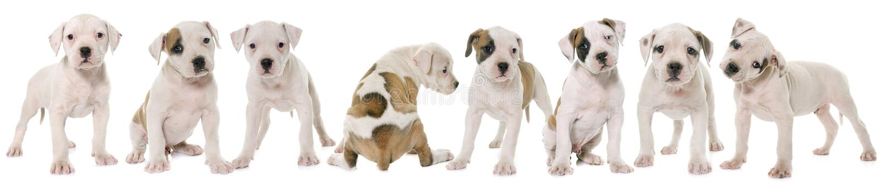 Dogo del americano de los perritos imágenes de archivo libres de regalías