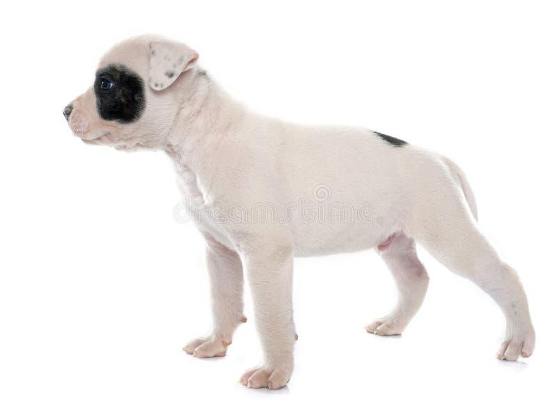 Download Dogo Del Americano Del Perrito Imagen de archivo - Imagen de purebred, fondo: 64209357