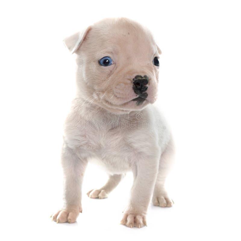 Download Dogo Del Americano Del Perrito Imagen de archivo - Imagen de blanco, americano: 64209407