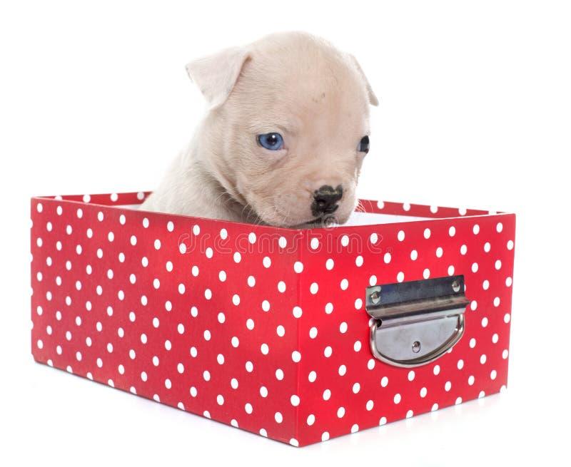 Download Dogo Del Americano Del Perrito Foto de archivo - Imagen de arte, perrito: 64209418