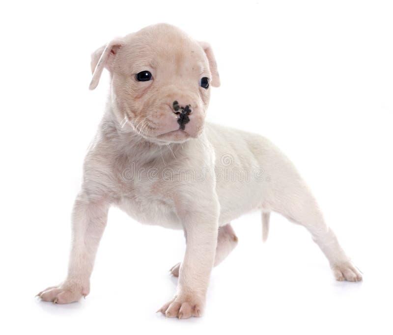 Download Dogo Del Americano Del Perrito Foto de archivo - Imagen de aislado, bulldog: 64209422