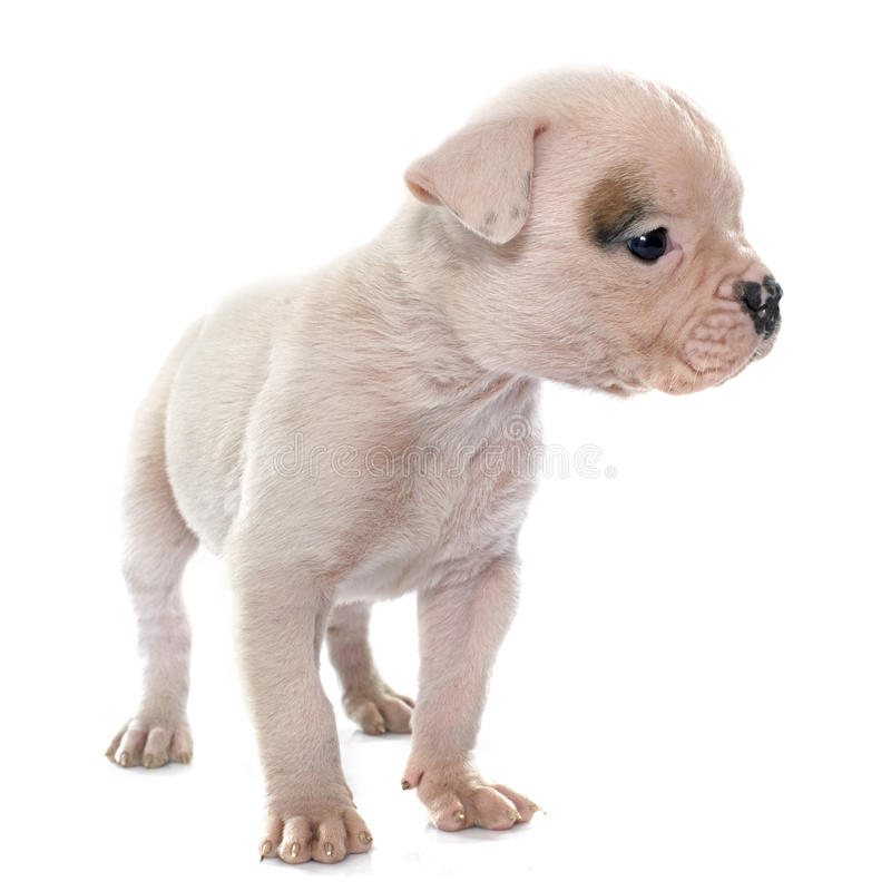 Download Dogo Del Americano Del Perrito Foto de archivo - Imagen de joven, perro: 64209468
