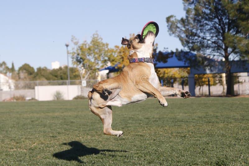 Dogo en aire torcido con el disco imagen de archivo libre de regalías
