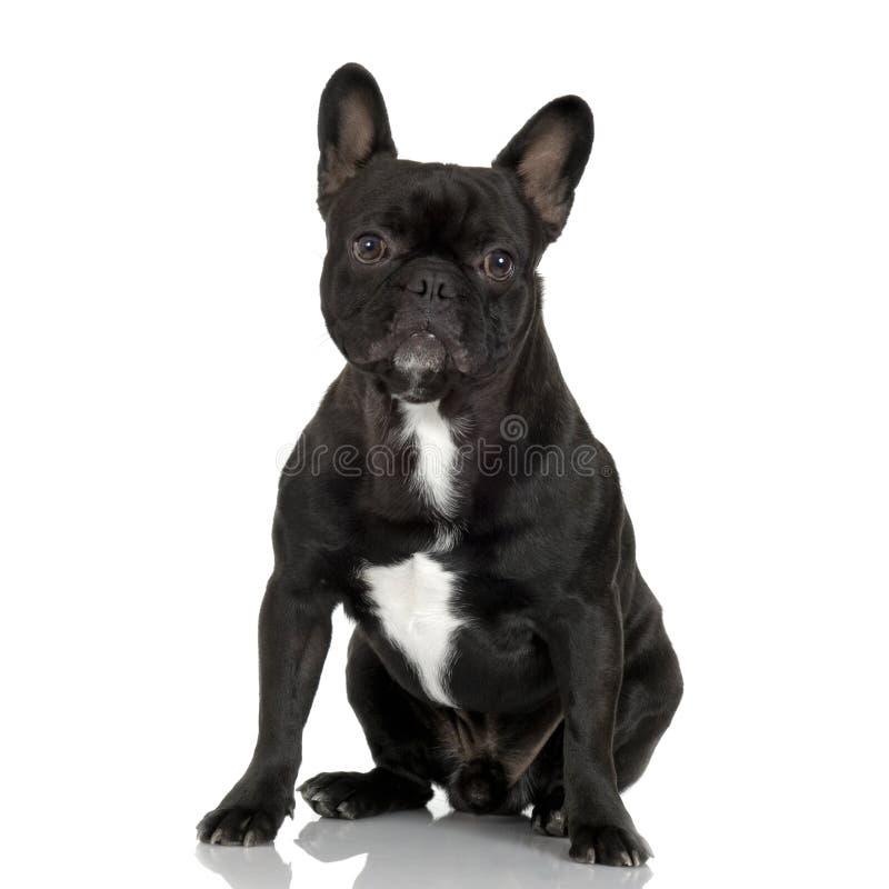 Dogo francés (1 año) imagenes de archivo