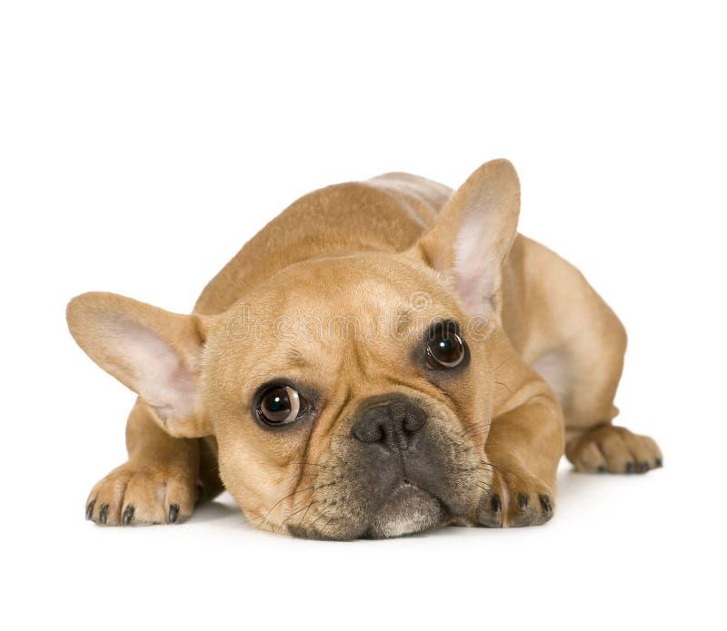 Dogo francés (7 meses) imagen de archivo