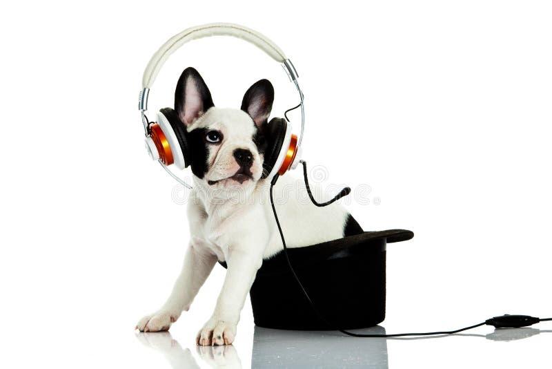 Dogo francés con el auricular aislado en el fondo blanco Perro imágenes de archivo libres de regalías