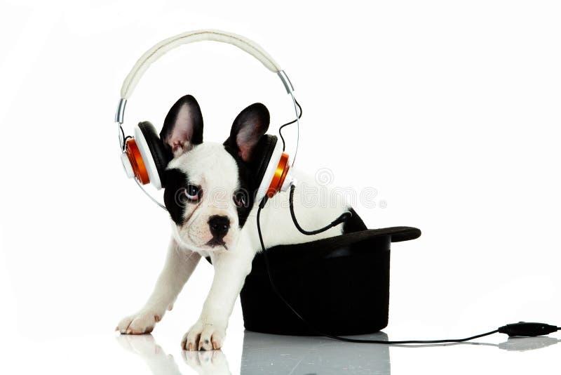 Dogo francés con el auricular aislado en el perro blanco del fondo foto de archivo libre de regalías