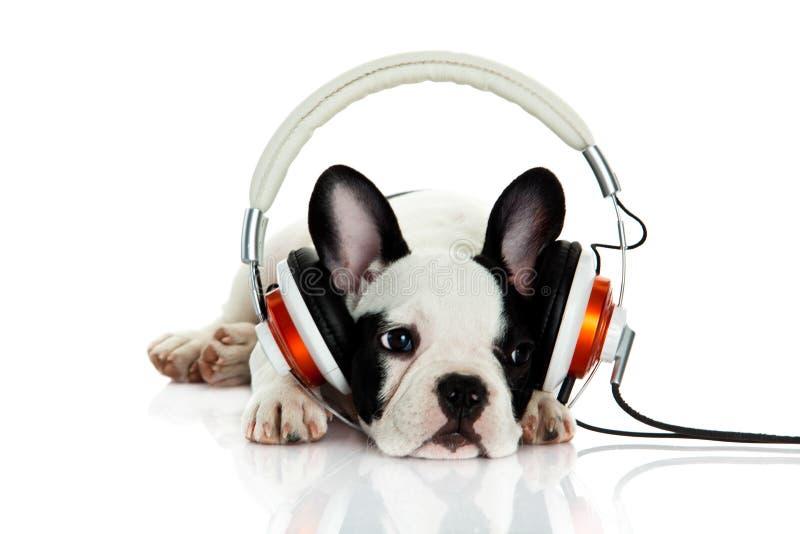 Dogo francés con el auricular aislado en el perro blanco del fondo que escucha la música fotos de archivo