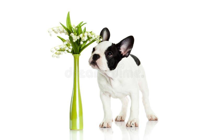 Dogo francés con las flores aisladas en el perro blanco del fondo imagen de archivo libre de regalías