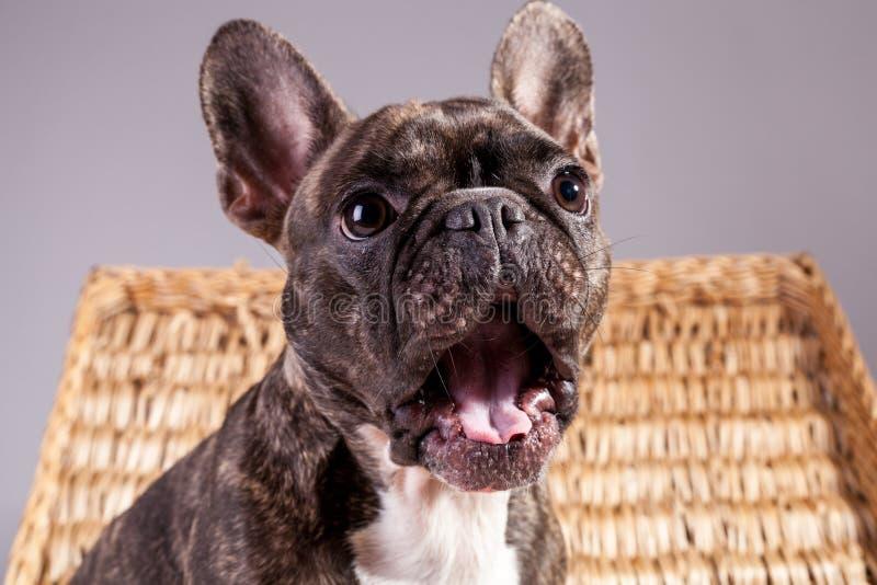 Dogo francés de Brown que se sienta con la boca abierta en una caja marrón imágenes de archivo libres de regalías
