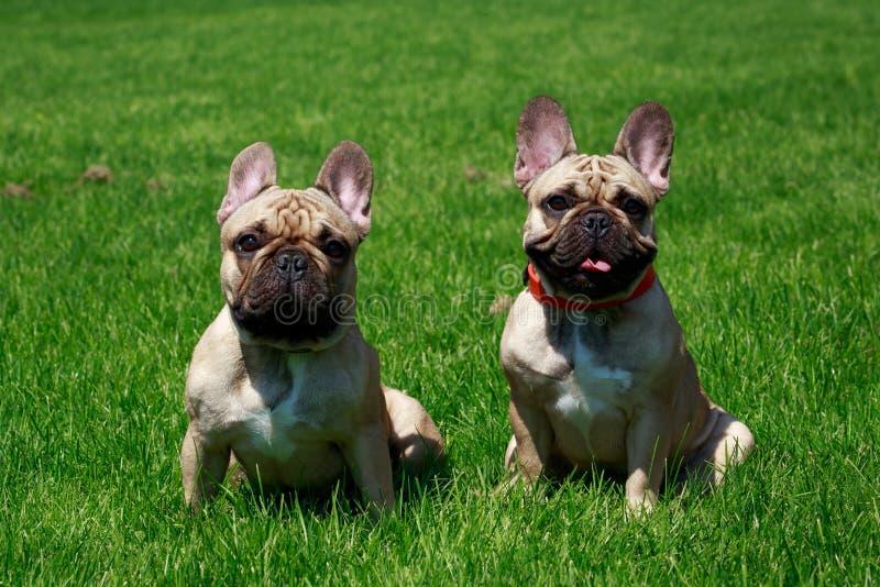 Dogo francés de la raza del perro foto de archivo libre de regalías