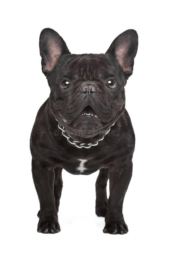 Dogo francés del marrón oscuro fotos de archivo libres de regalías