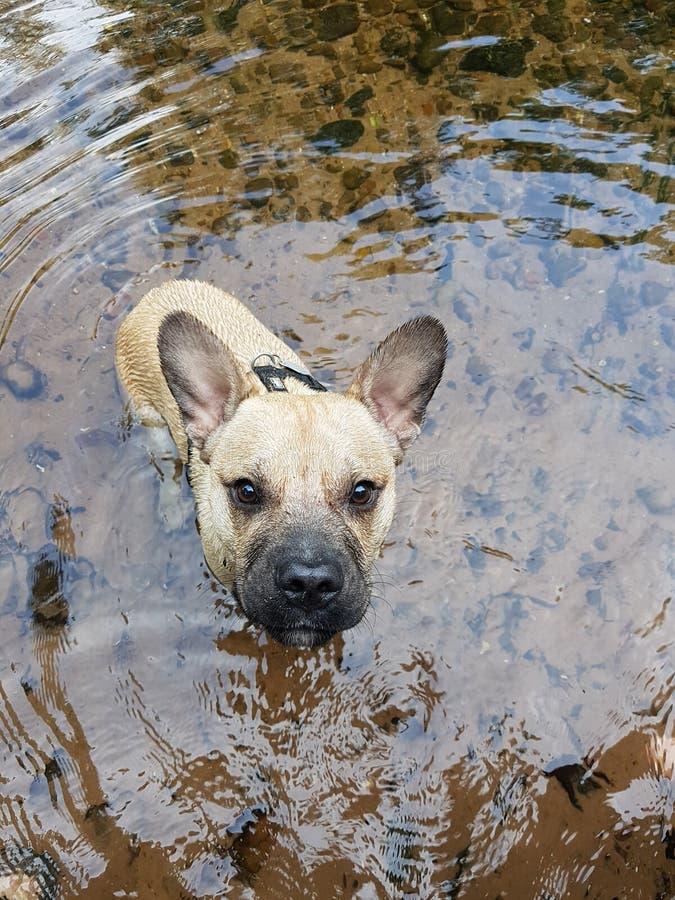 Dogo francés dulce en el agua foto de archivo