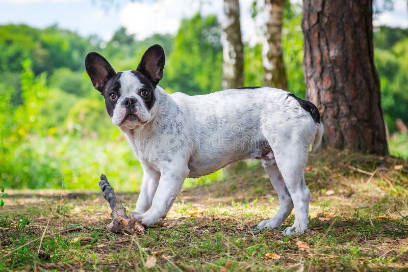 Dogo francés en el bosque foto de archivo