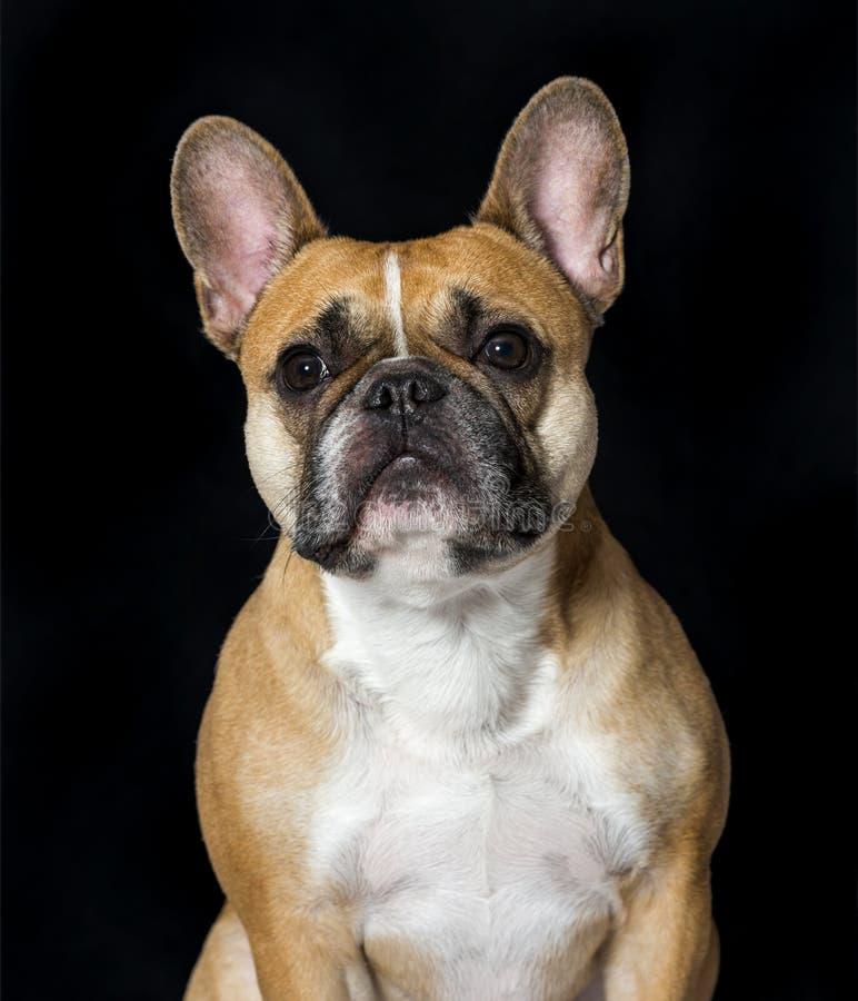 Dogo francés en retrato contra fondo negro foto de archivo