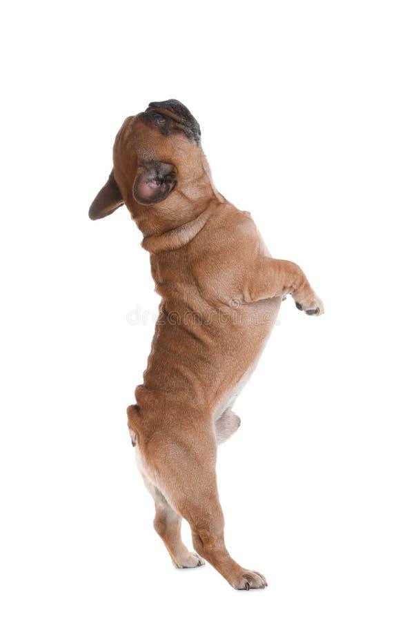 Dogo francés lindo en blanco animal doméstico divertido fotos de archivo