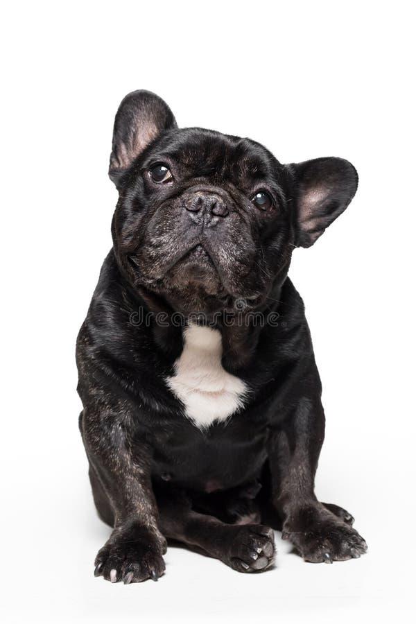 Dogo francés lindo que se sienta y que parece para arriba aislado en el fondo blanco foto de archivo