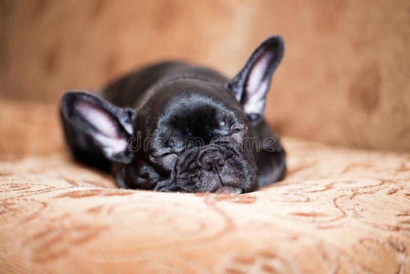 Dogo francés negro imagen de archivo