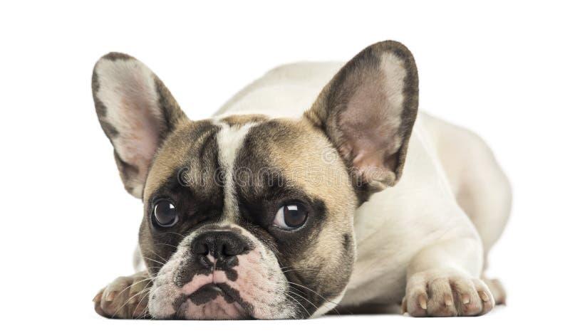 Dogo francés que hace frente, mentira, aislada fotografía de archivo