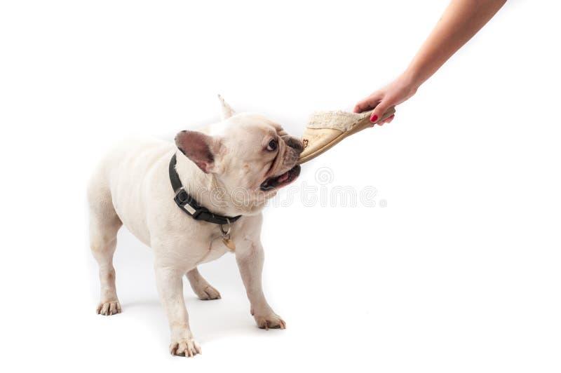 Dogo francés que juega con el deslizador fotos de archivo