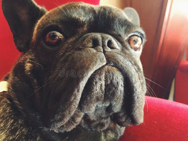 Dogo francés que parece asustado foto de archivo