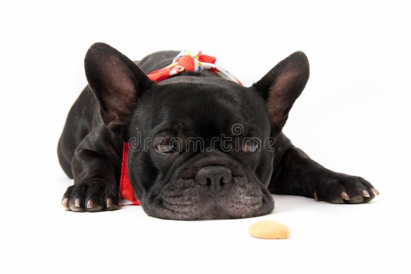 Dogo francés que se sienta foto de archivo