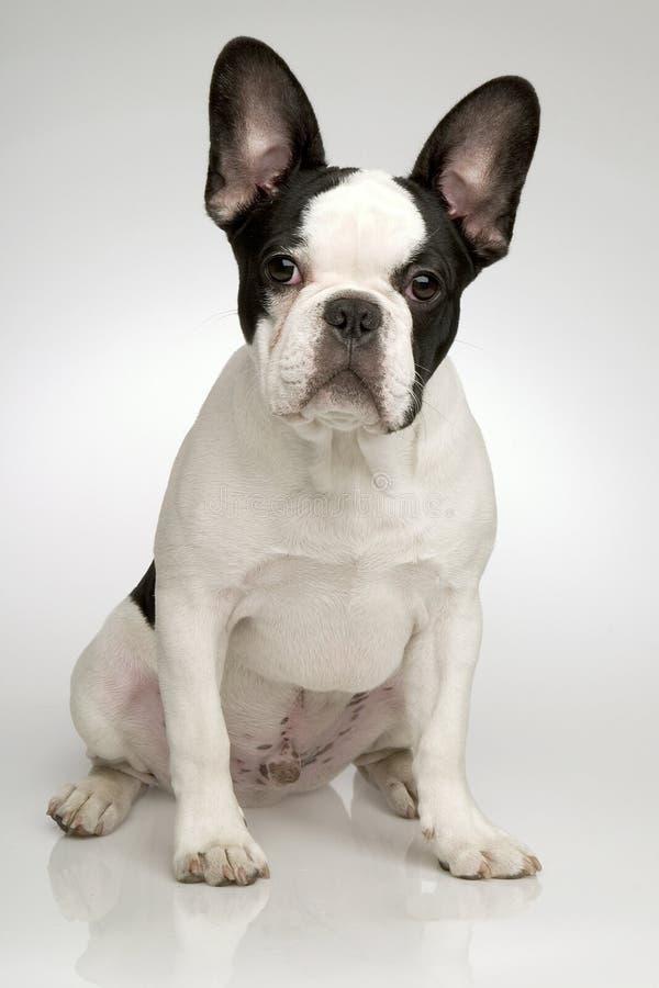 Dogo francés que se sienta foto de archivo libre de regalías