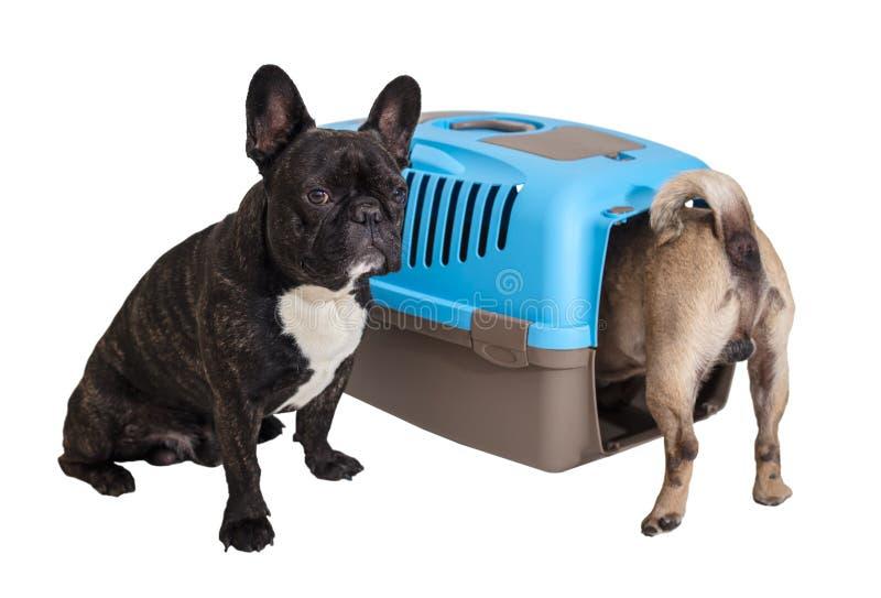 Dogo francés que se sienta al lado de un portador y de un barro amasado animales imagenes de archivo