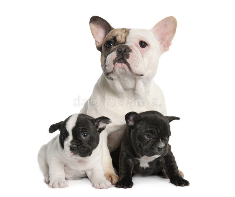 Dogo francés y sus perritos (1 año de la madre imágenes de archivo libres de regalías