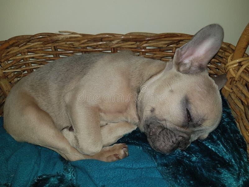 Dogo franc?s imagenes de archivo