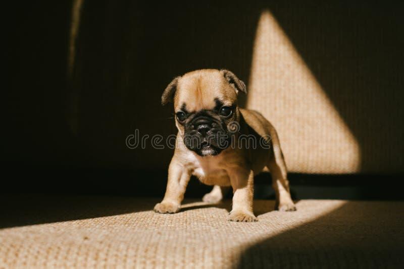 Dogo franc?s del perrito beige lindo imagen de archivo