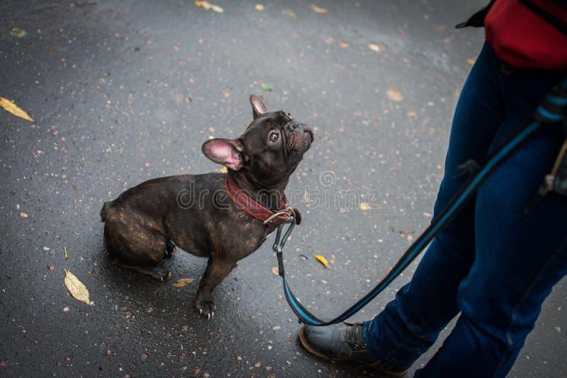 Dogo franc?s negro con un cuello imagenes de archivo