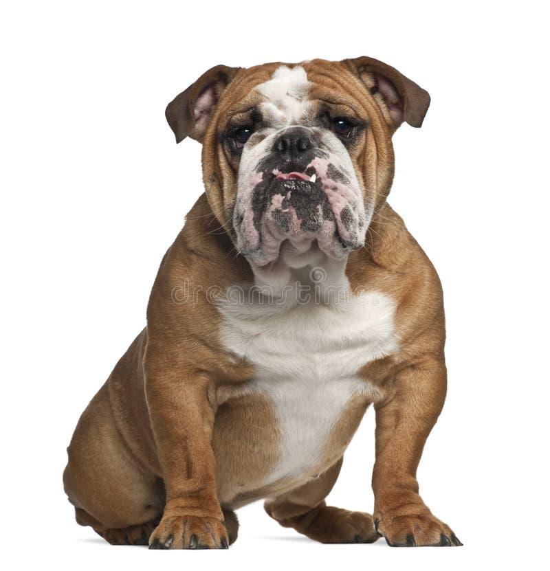Dogo inglés, 10 meses, sentándose imagen de archivo