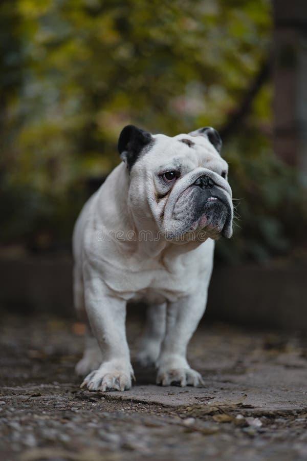 Dogo inglés blanco en la yarda fotos de archivo