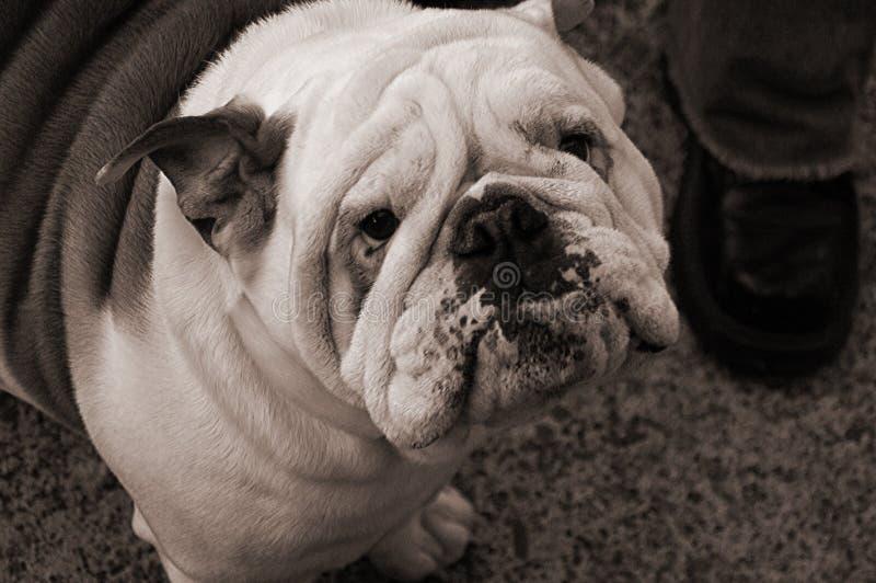 Dogo inglés en América fotografía de archivo libre de regalías