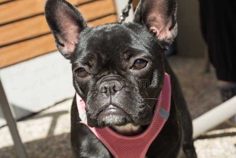 Dogo negro con el vistazo fiel fotografía de archivo