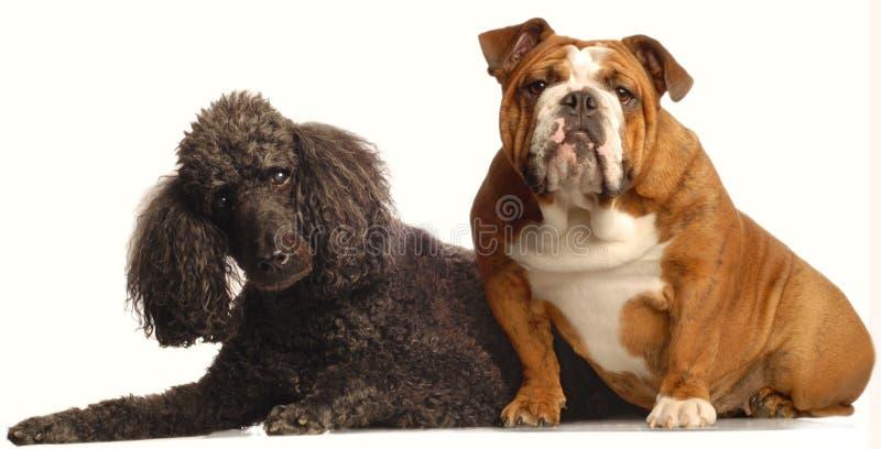 Dogo y caniche estándar fotos de archivo libres de regalías